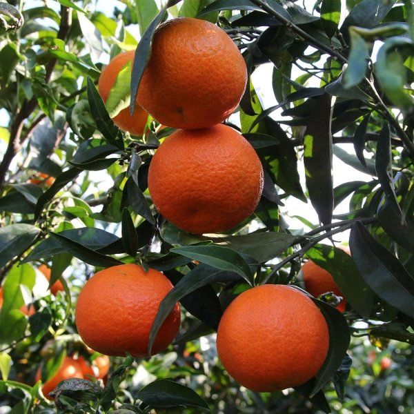 clementines on tree