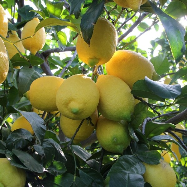 Natural lemon tree